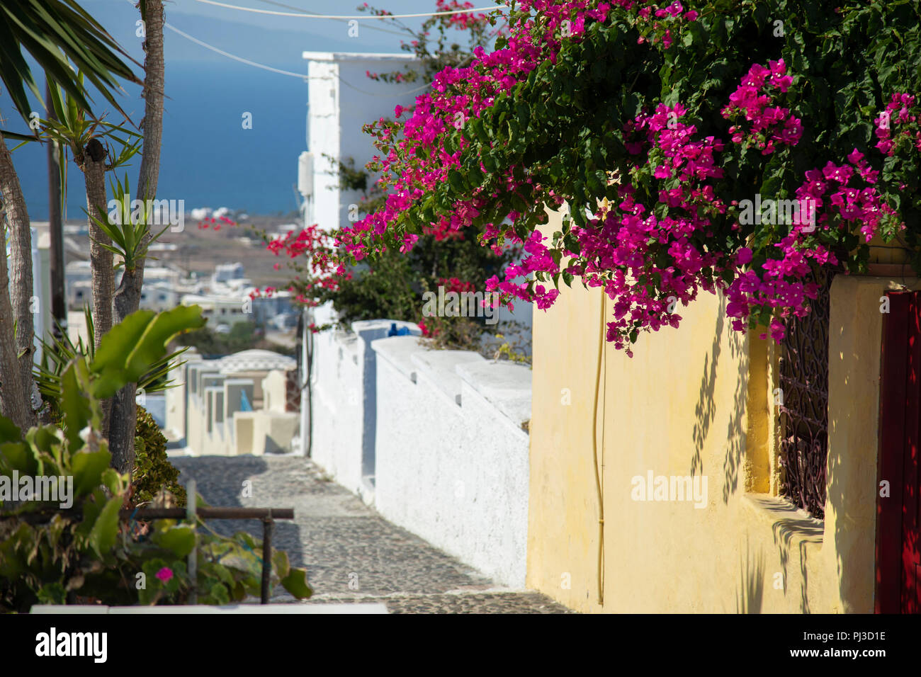 b6dd6ae18f2f pink bougainvillea flowers overlooking Oia