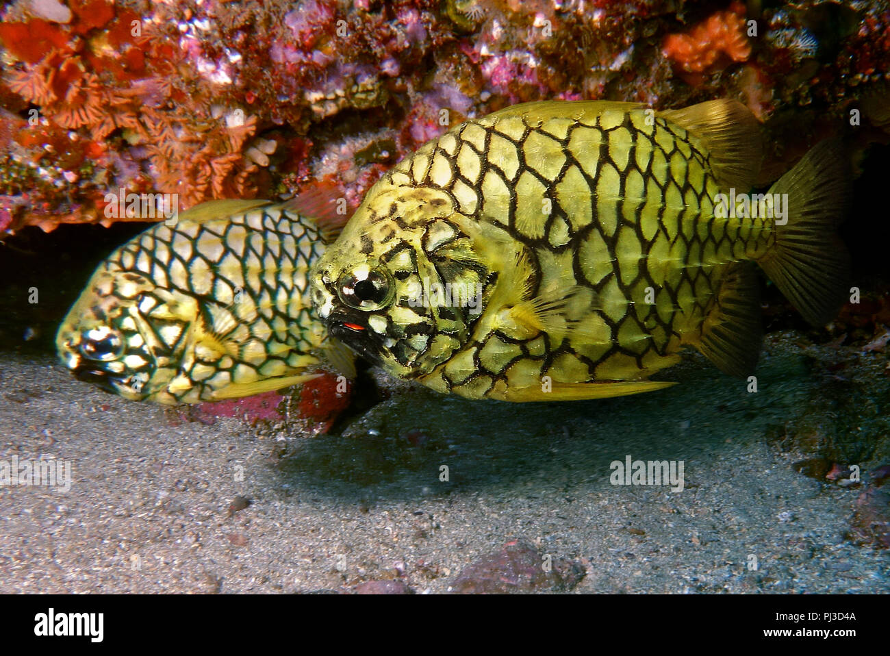 Pineapplefish, Cleidopus gloriamaris. The pineapplefish is a weak swimmer and a nocturnal species found inside caves and under rocky ledges during the - Stock Image