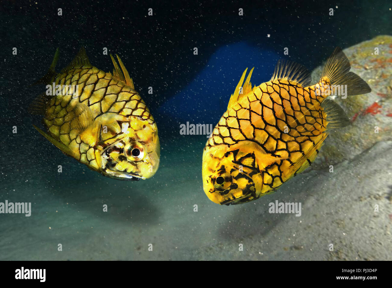 Pineapplefish, Cleidopus gloriamaris, inside underwater cave. Two fish in cofrontation. Note first dorsal fin spines raised. The pineapplefish is a - Stock Image
