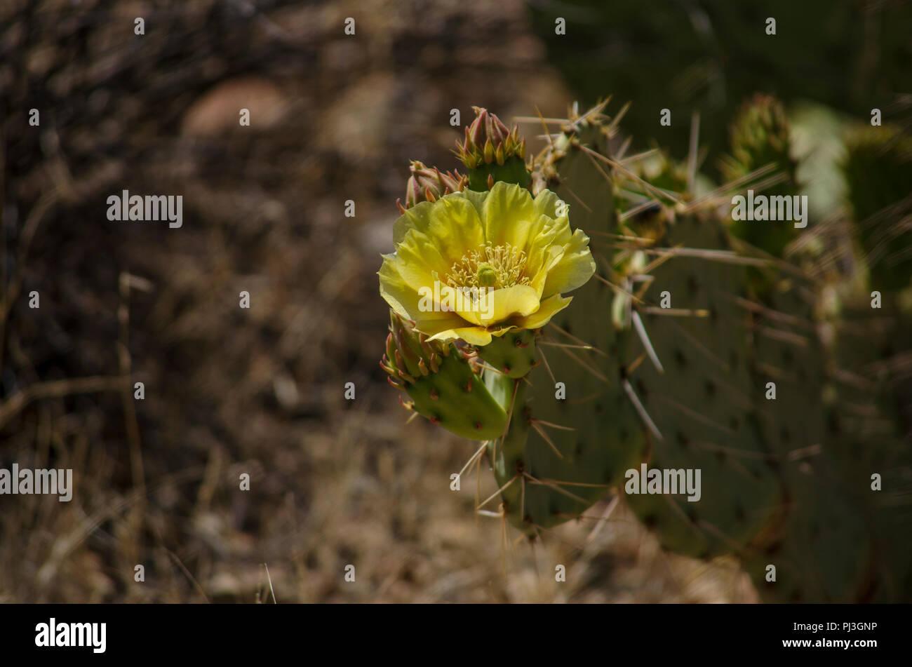 Cactus With Yellow Flower Stock Photo 217667234 Alamy