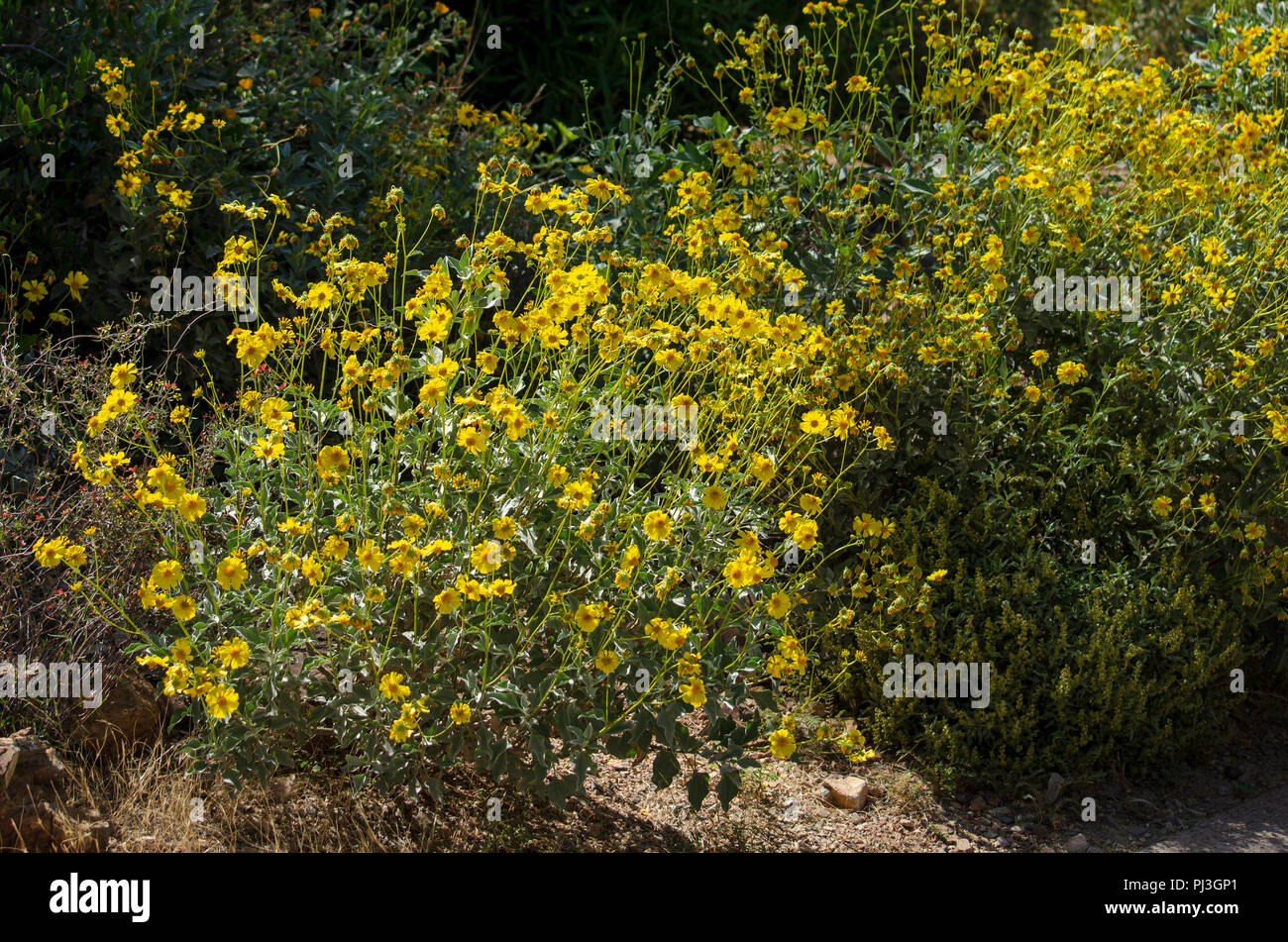 Bushes With Yellow Flowers Stock Photo 217667241 Alamy