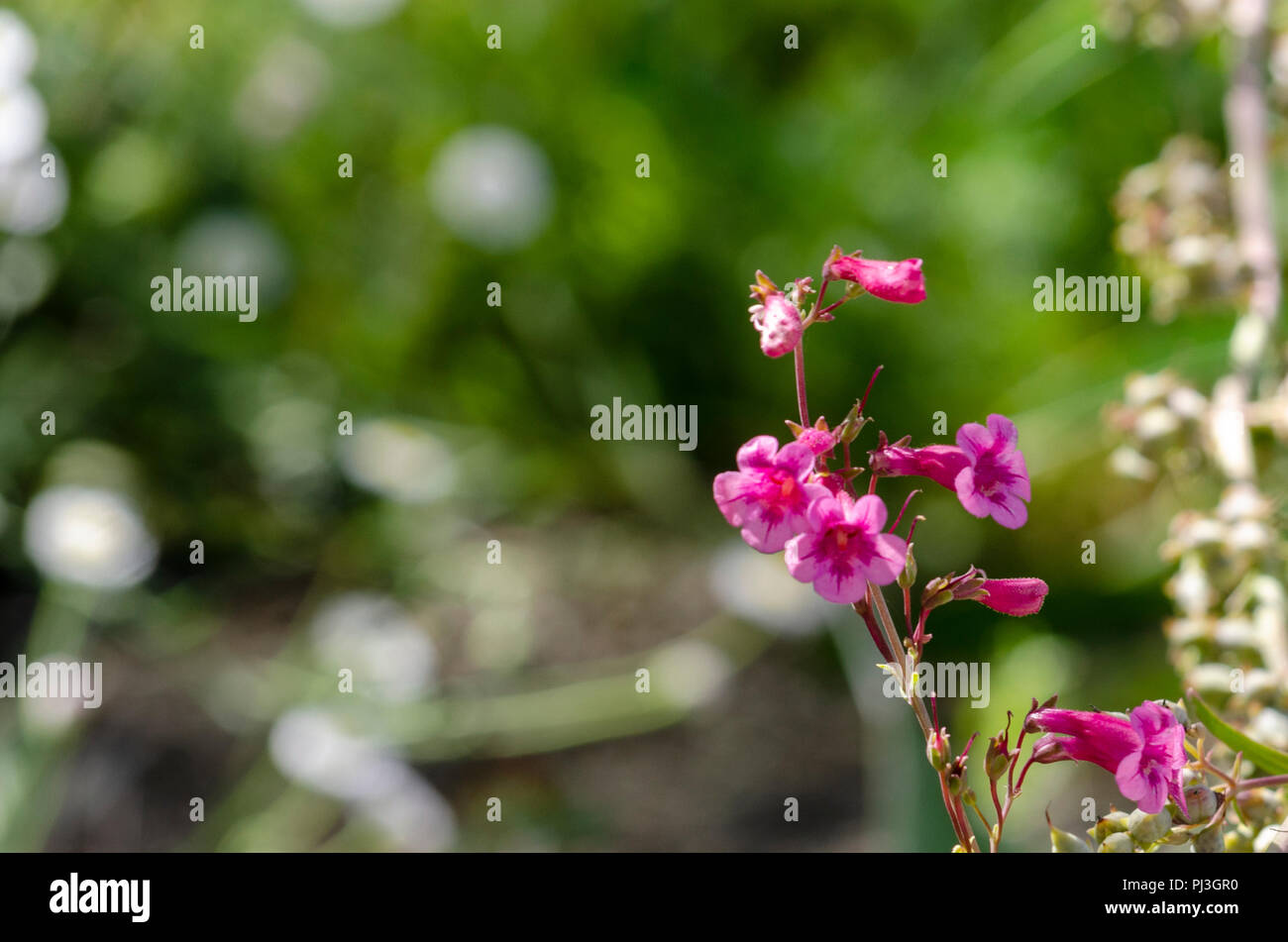 Pink Desert Flowers Against A Green Background Stock Photo