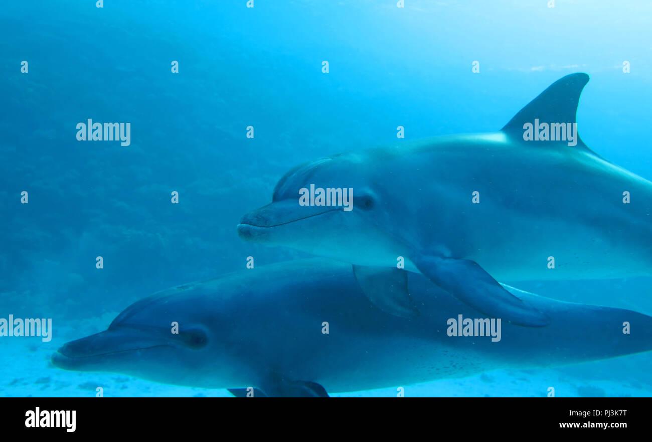 Indopazifische Grosser Tuemmler (Tursiops aduncus), Riff Shaab El Erg, Rotes Meer, Aegypten - Stock Image