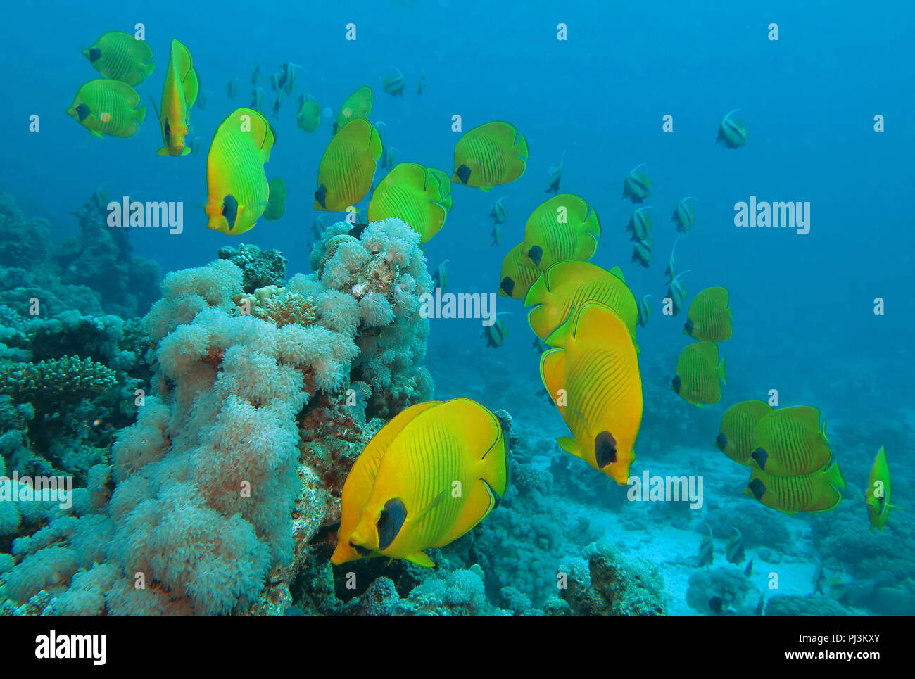 Masken Falterfisch Stock Photos Masken Falterfisch Stock Images