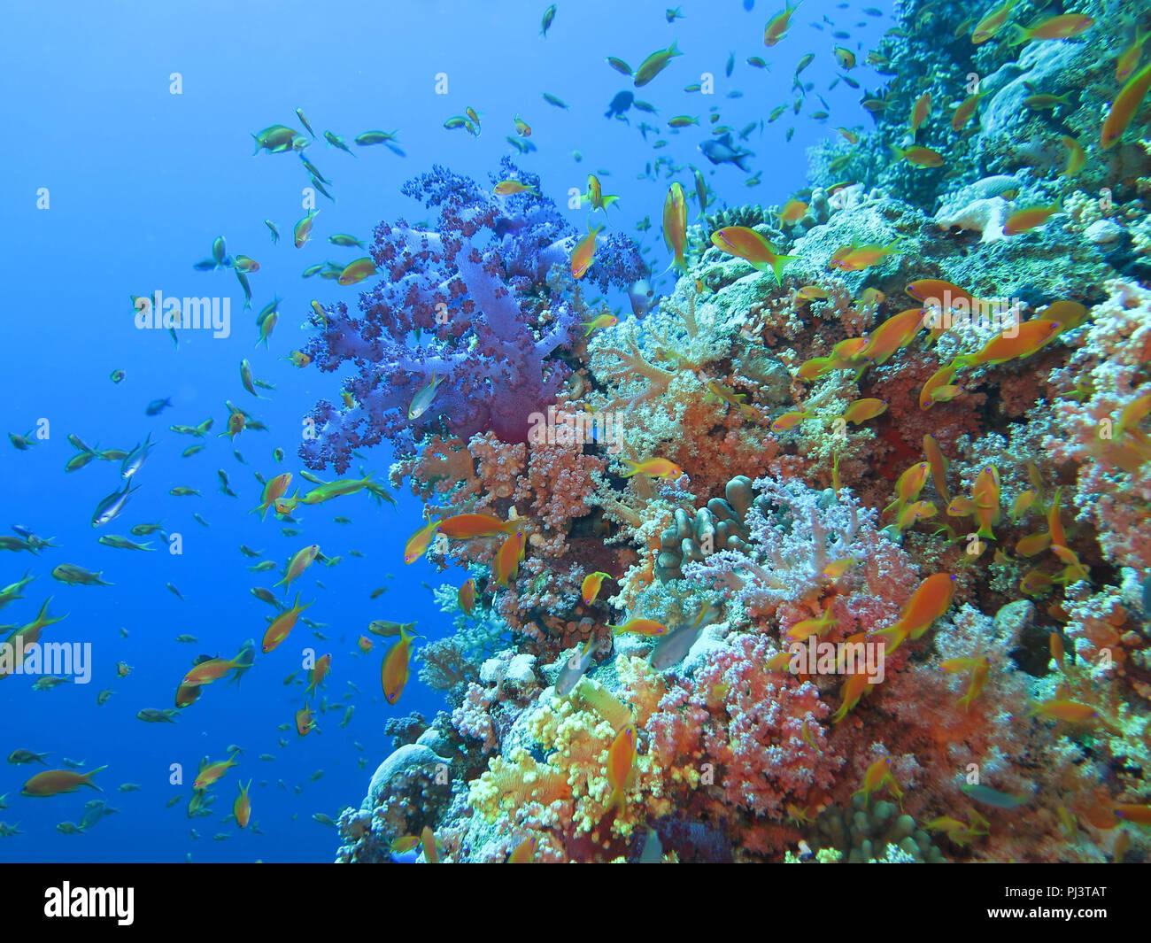 Korallenriff, Ras Mohammed, Shark Reef, Sinai, Rotes Meer, Aegypten - Stock Image
