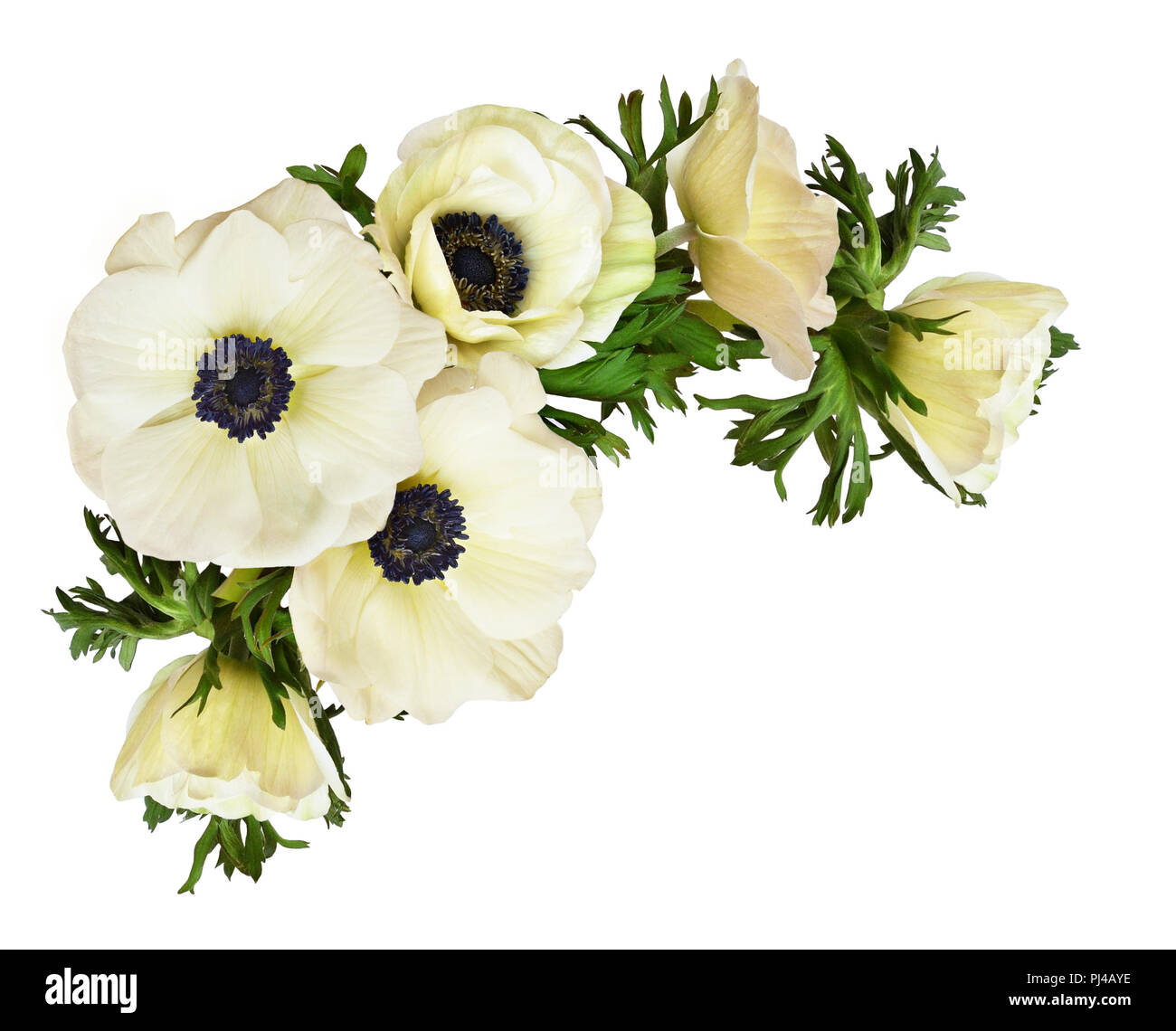 White Anemone Flowers In A Corner Arrangement Isolated On White