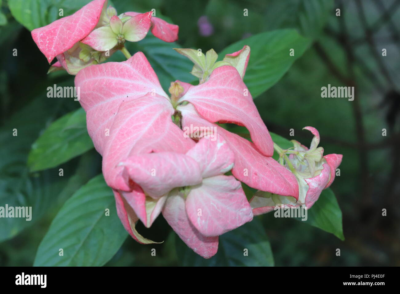 Pink Color Flower On Blur Background With Leafazingly Beautiful