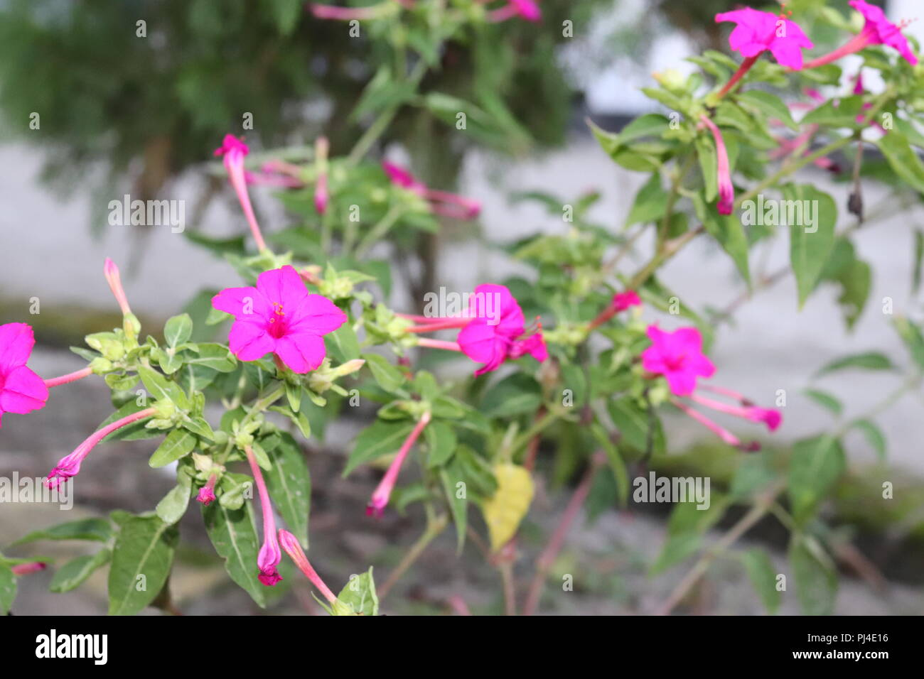 Most beautiful and amazing flowers with leaf and flower treewhite most beautiful and amazing flowers with leaf and flower treewhite and pink color flower on blur background with leafazingly beautiful flowers pic izmirmasajfo