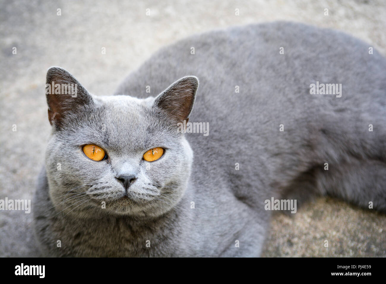 Cat With Bright Orange Eyes Resting On The Floor Stock Photo Alamy