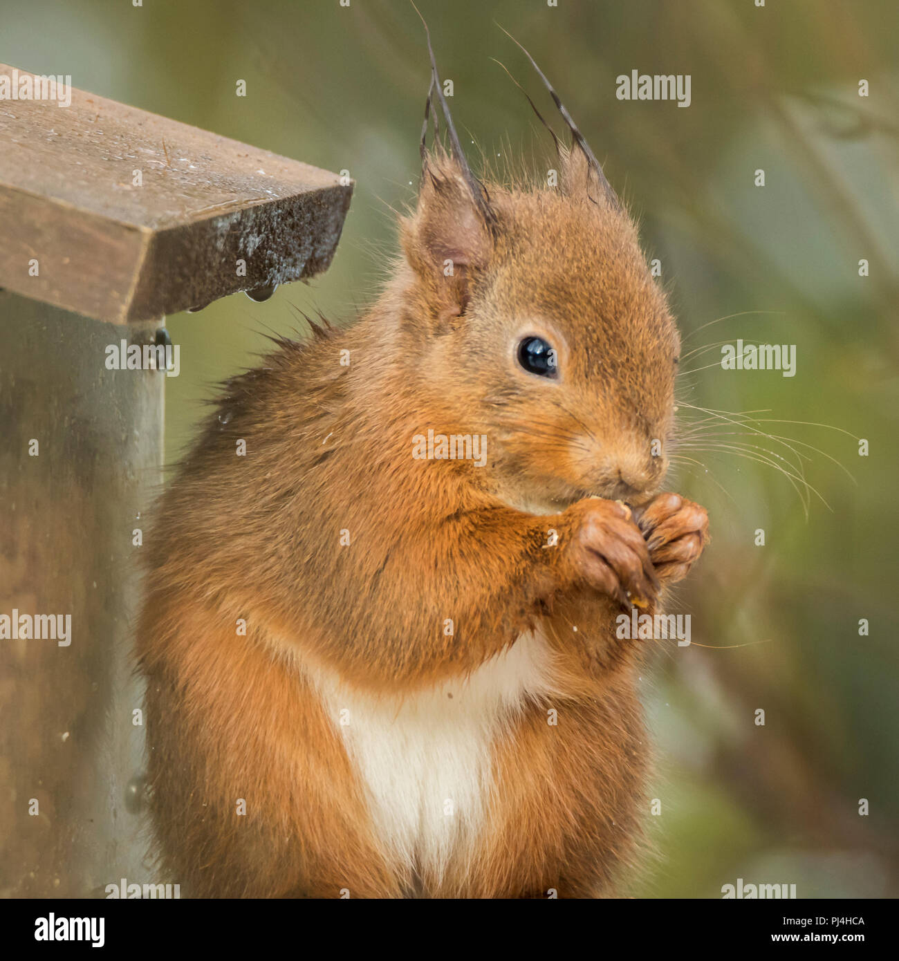 Red squirrel on feeder in RSPB reserve in Scotland - Stock Image