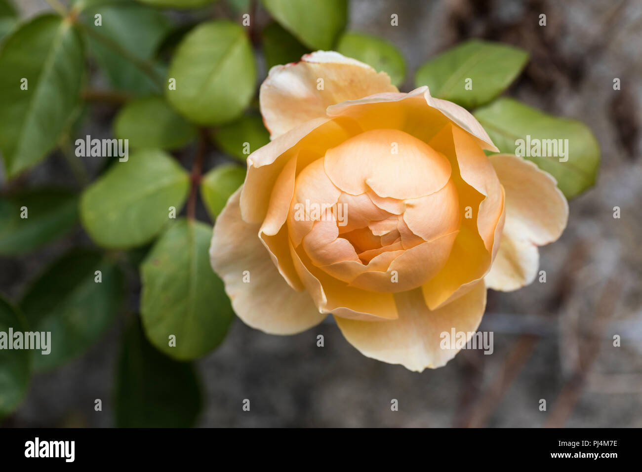 Close up of Rosa 'Jude the Obscure' - Stock Image