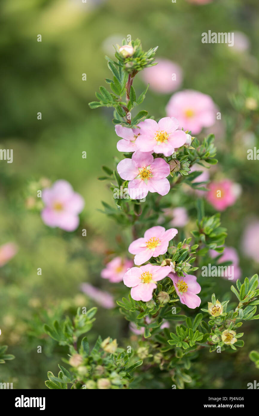 Close up of pink Potentilla fruticosa against a blurred background - Stock Image