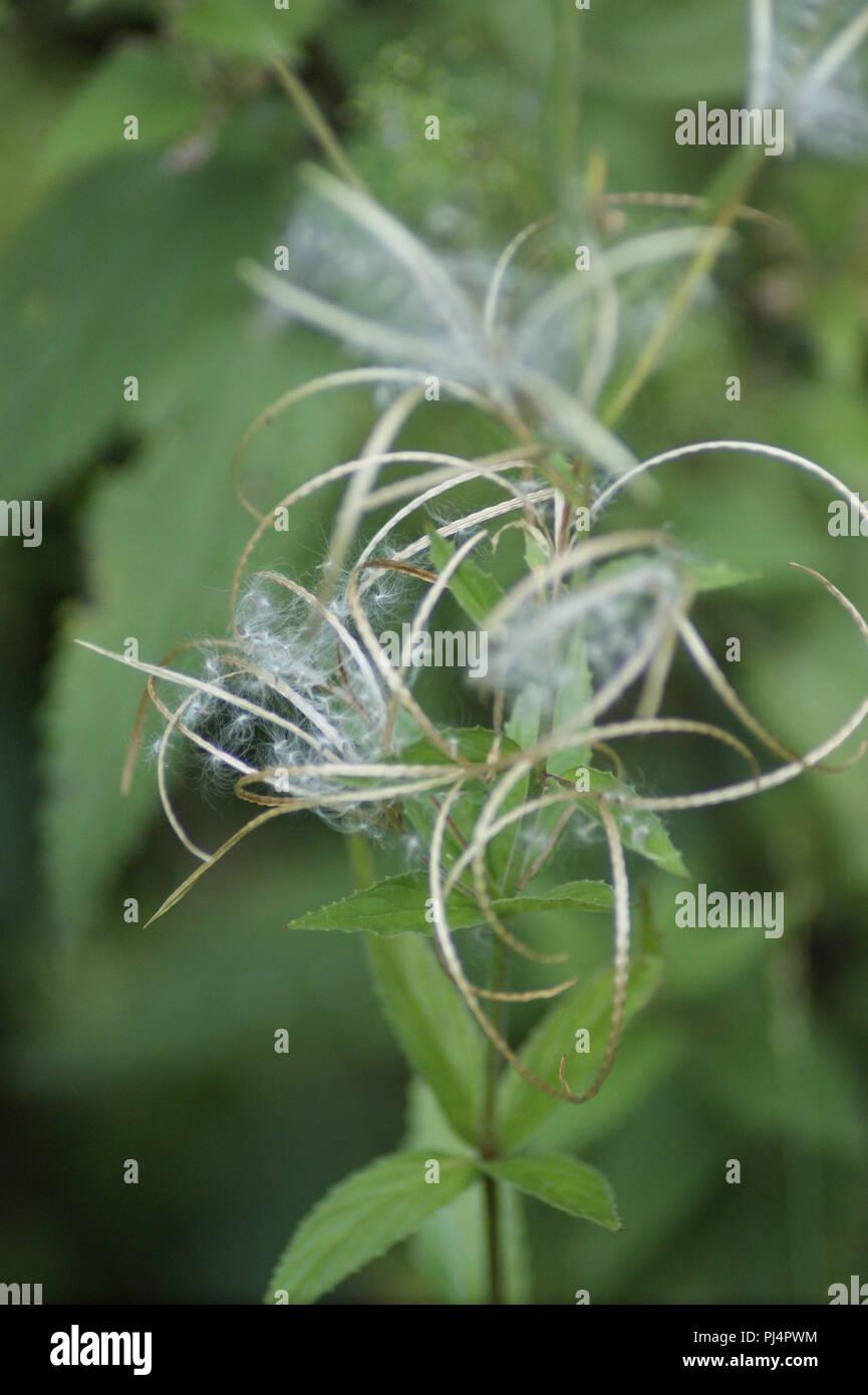 Epilobium angustifolium, fleur blanche d'epilobe en epi, white willowherb flower, Weidenröschenblüte, flor de adelfilla blanca - Stock Image