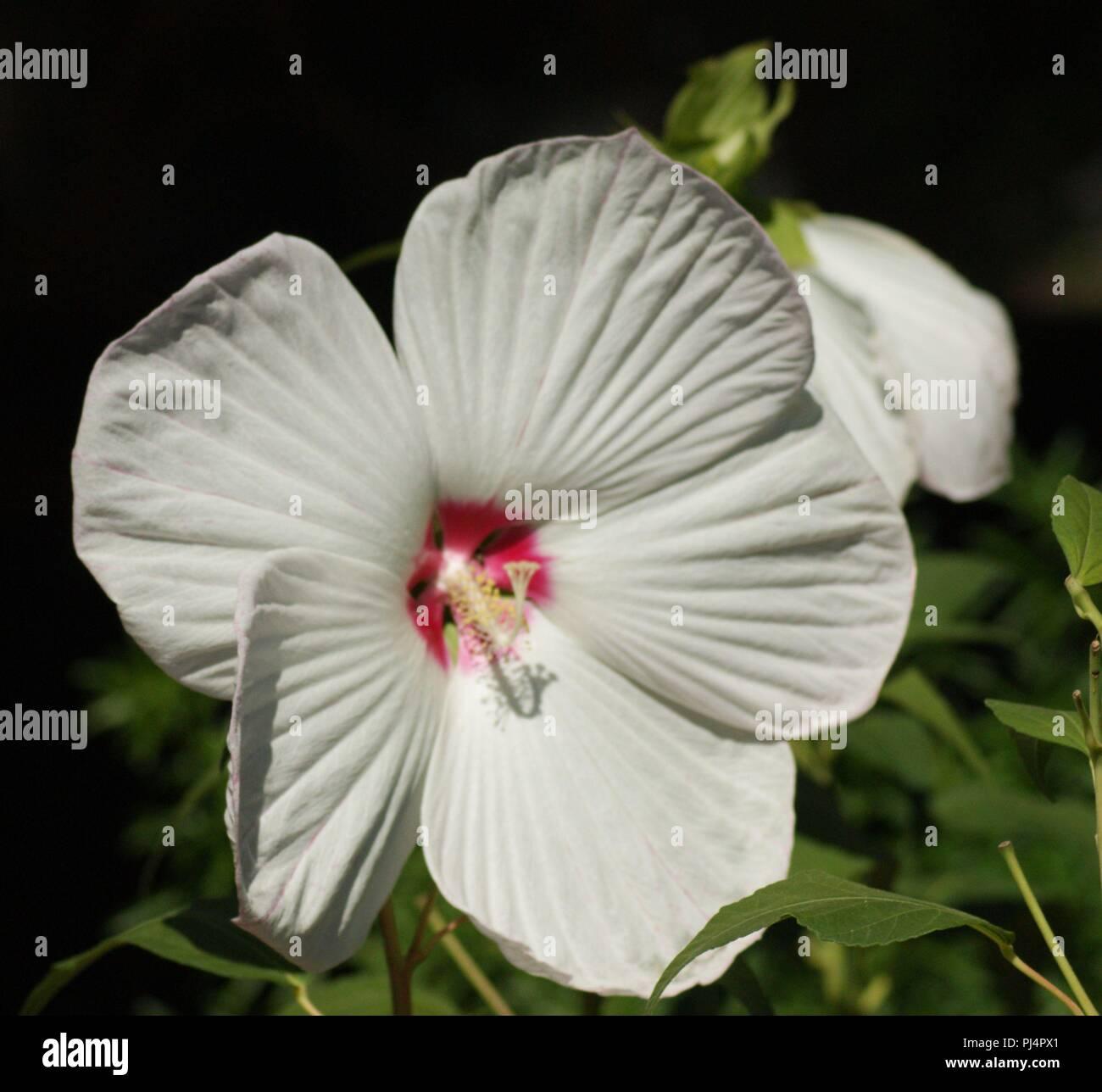Hibiscus Syriacus Malvaceae Hibiscus Ketmie Tres Belle Fleur