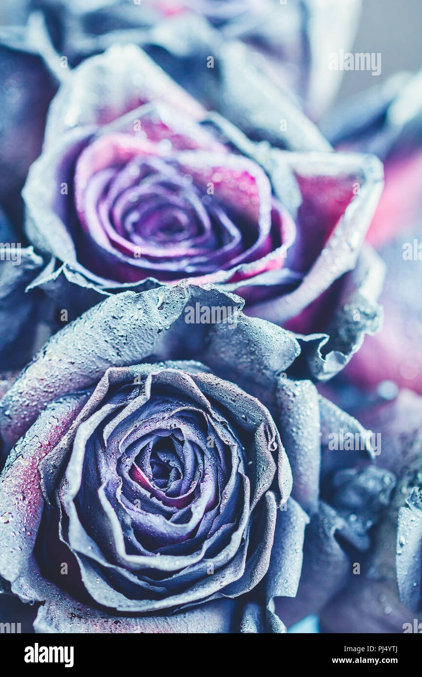 Macro Photography Of Purple Neon Roses With Raindrops Fantasy And Use Selective Focus In For Dummies Magic Concept