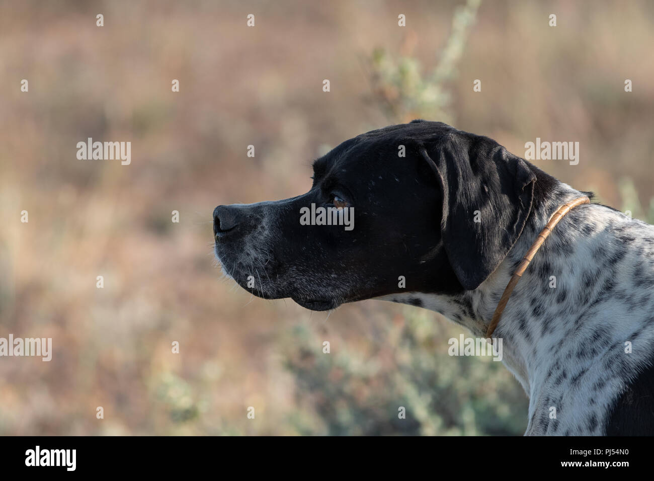 Profile view of Pointer pedigree dog, blurred background - Stock Image