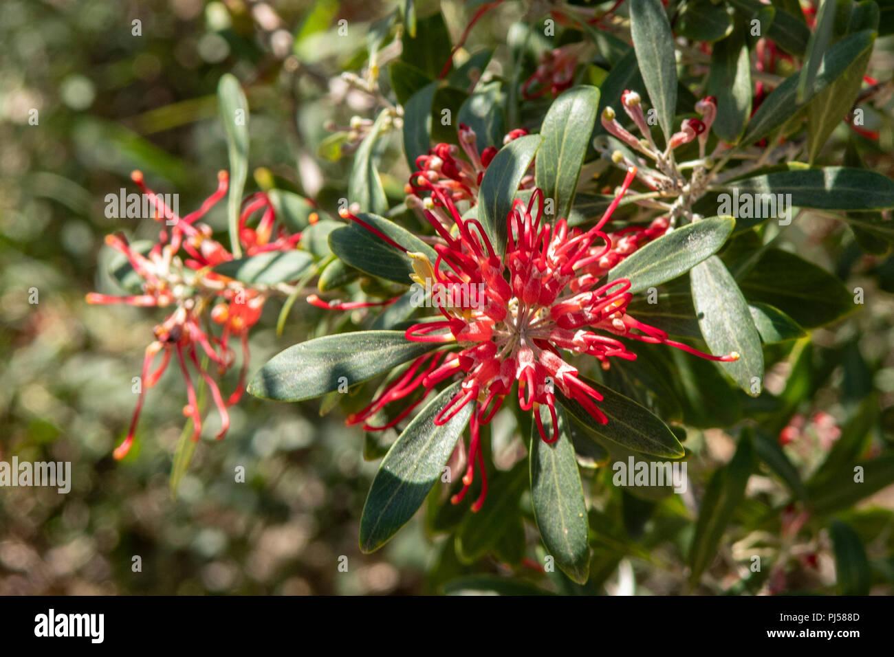 Grevillea olivacea, Olive Grevillea - Stock Image