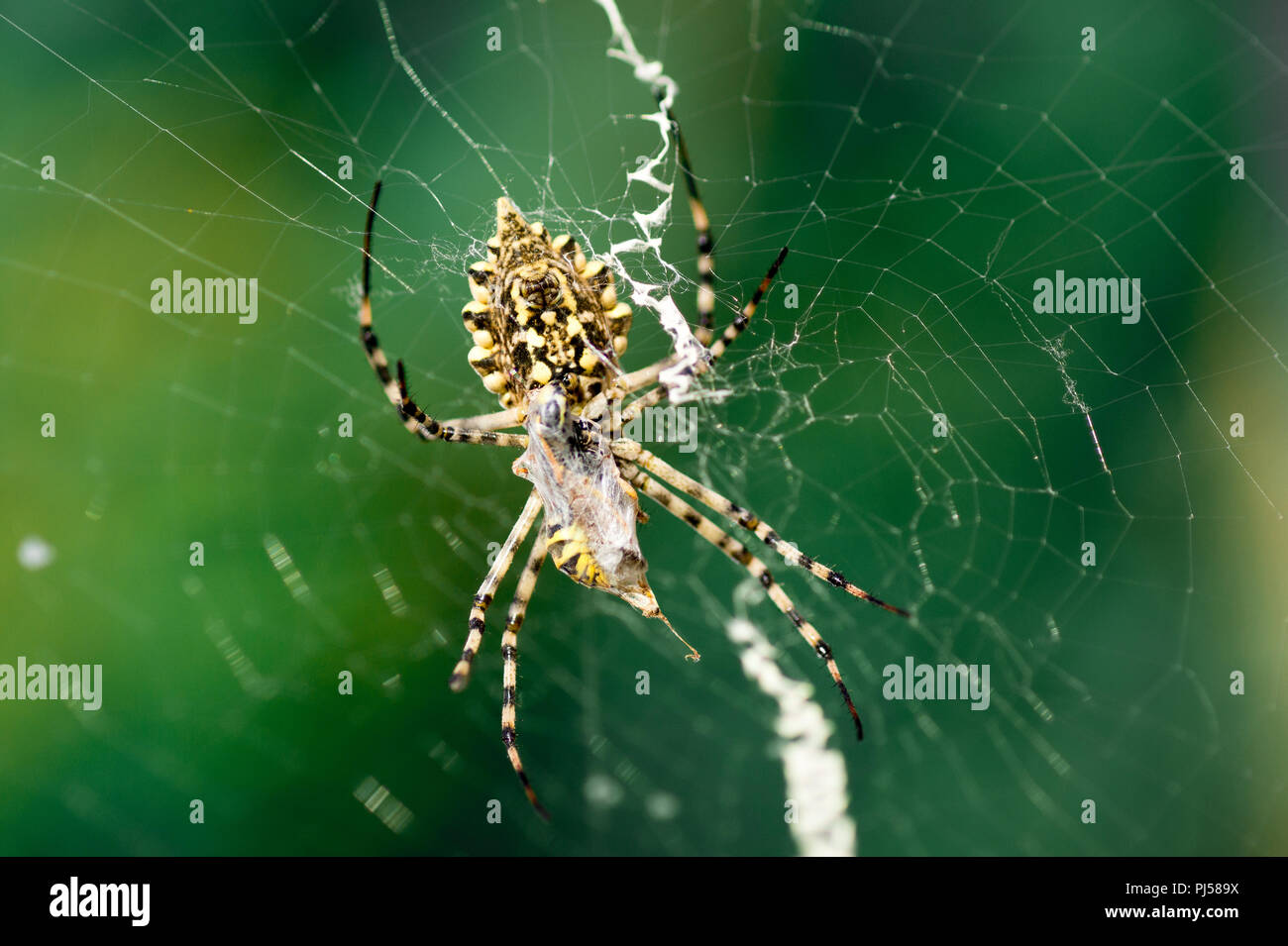 A Terrible Poisonous Spider Argiope Lobata A Female Sitting Next