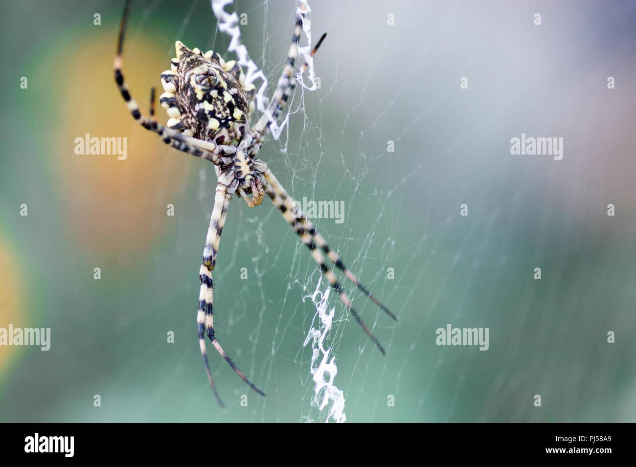 Garden Spider Argiope Lobata Stock Photos Garden Spider Argiope