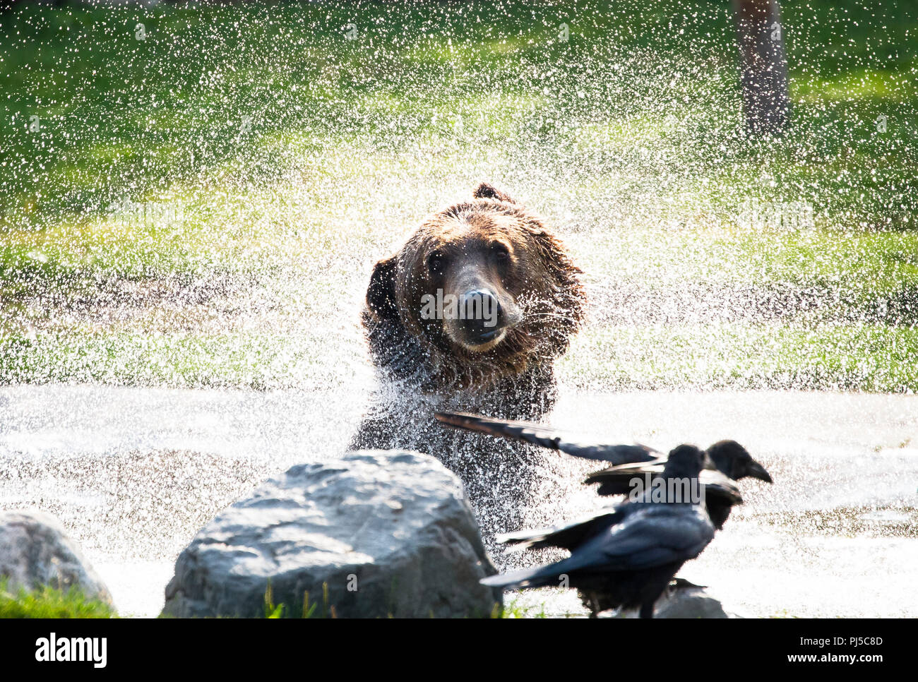An adult brown bear (Ursus arctos horribilis) shakes off water as it exits a pond. - Stock Image