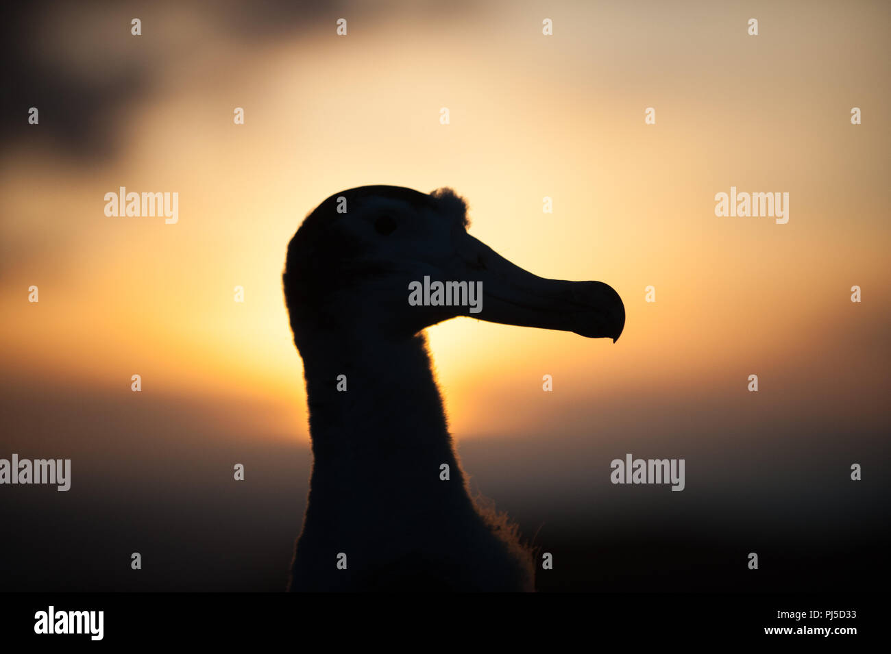 Wandering albatross (Diomedia exulans) chick silhouetted against the setting sun, Bird Island, South Georgia - Stock Image