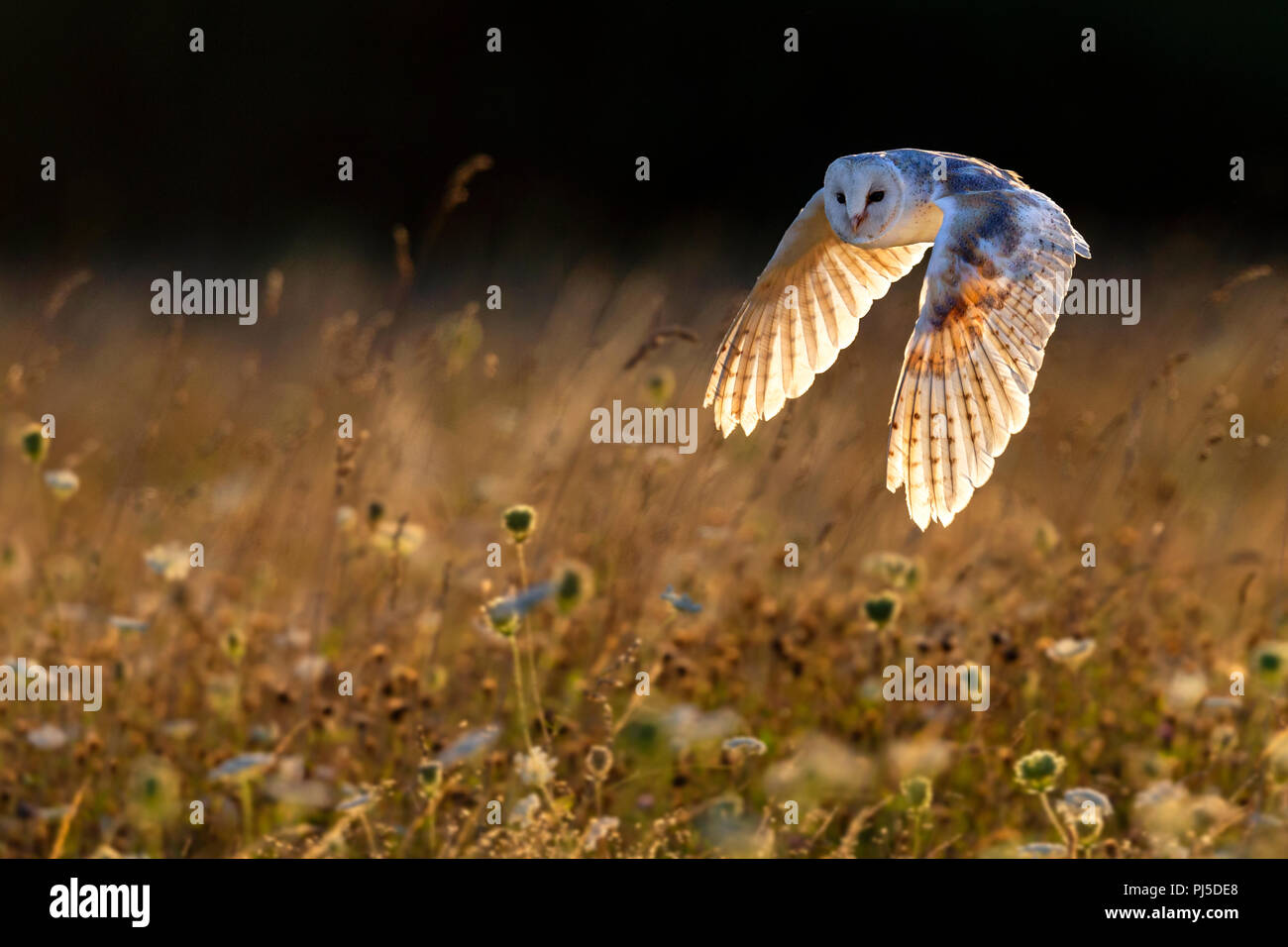 Barn owl in flight backlit by early evening sunlight - Stock Image