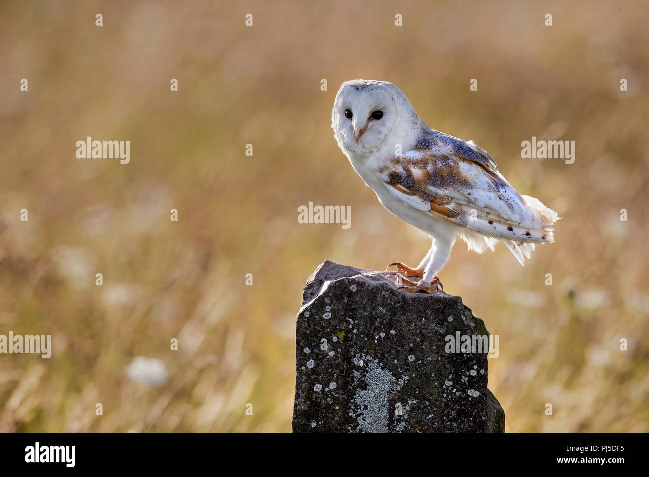Barn Owl on rock in flower meadow - Stock Image