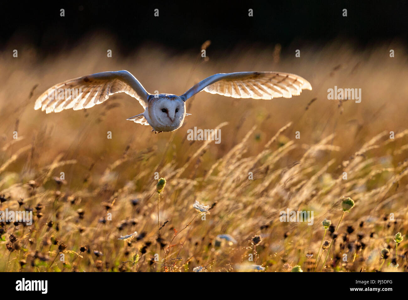 Barn owl in flight - Stock Image