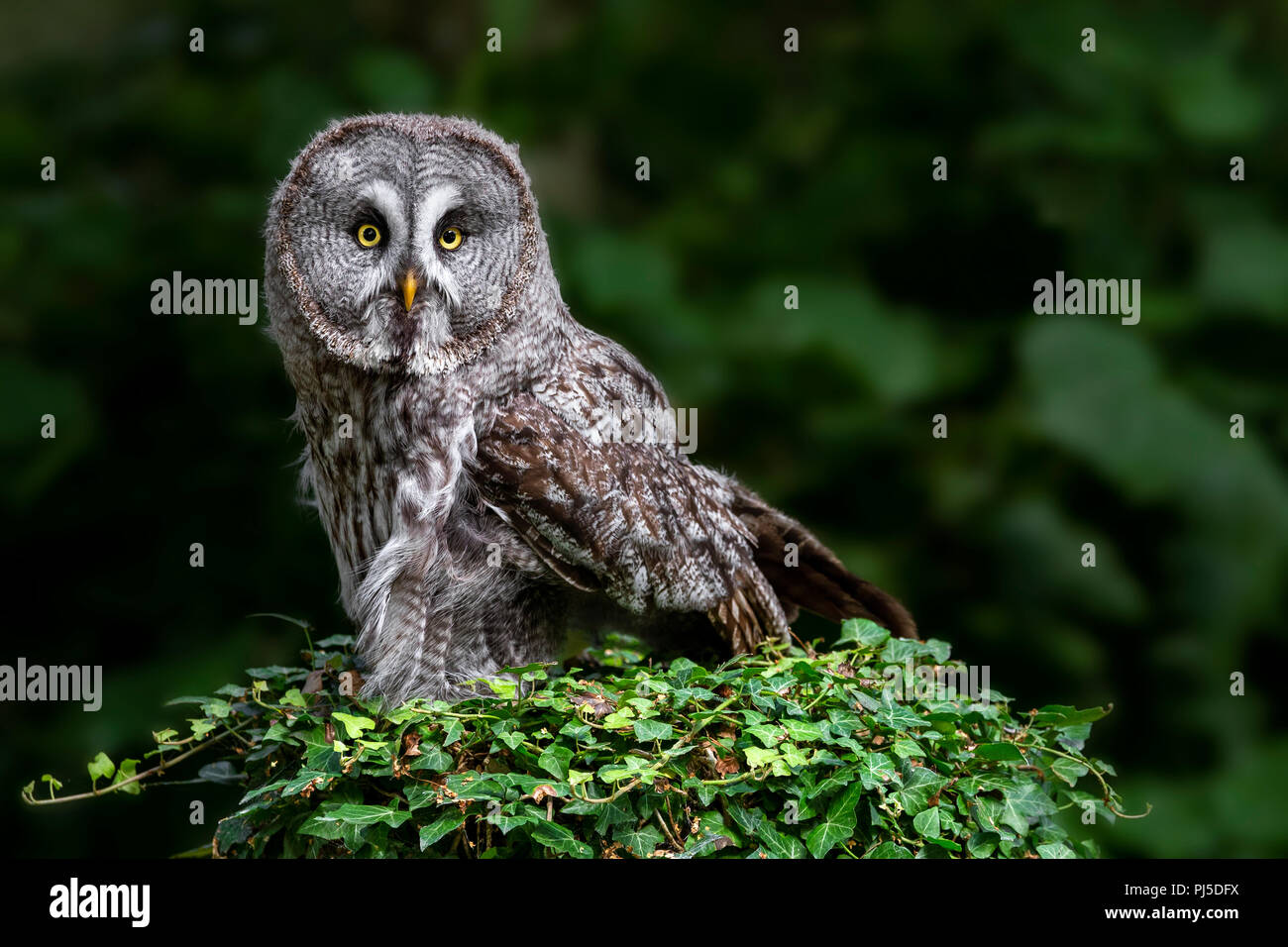 Portrait of a Great Grey Owl - Stock Image