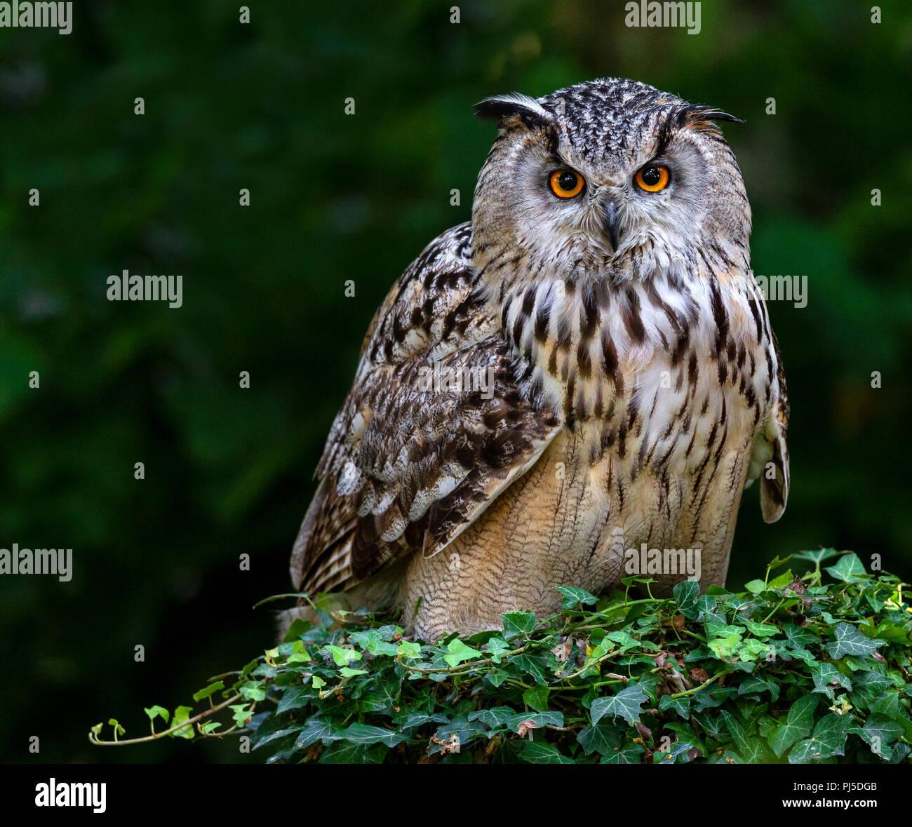Siberian Eagle Owl - Stock Image