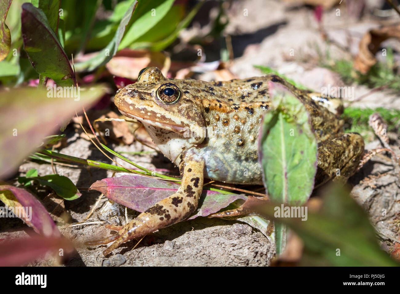 A Columbia spotted frog (Rana luteiventris) sits on the edge of a lake on a sunny day in Yellowstone National Park. Stock Photo