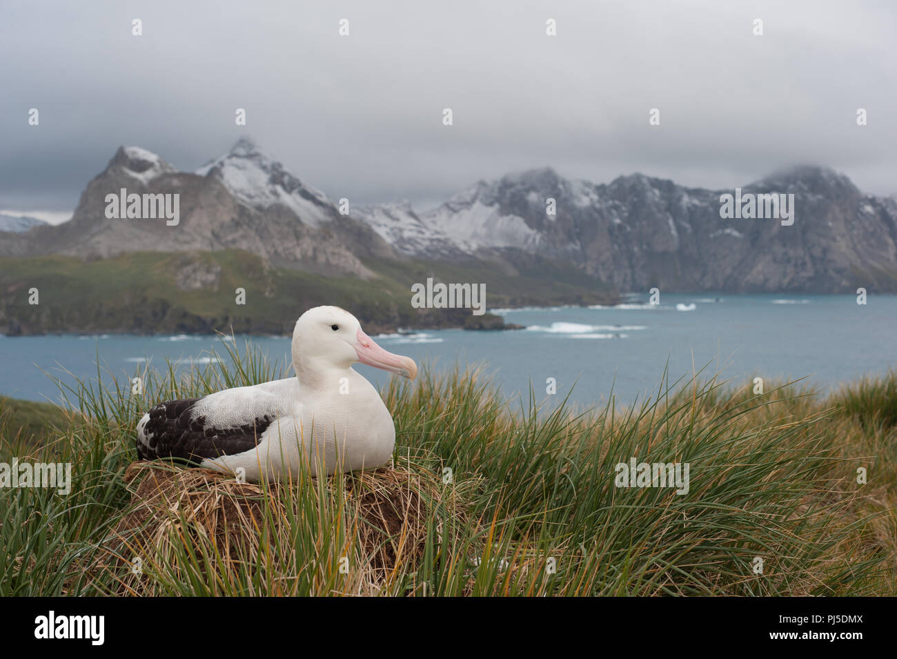 A female Wandering Albatross (Diomedia exulans) nesting on Bird island, South Georgia in the sub-Antarctic - Stock Image