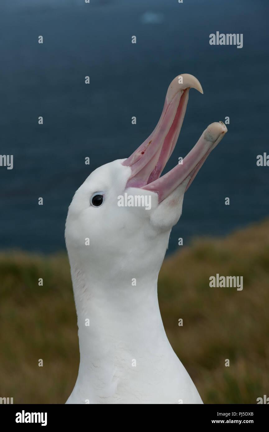 A male Wandering Albatross displaying, sky-calling on Bird Island, South Georgia, in the sub Antarctic - Stock Image