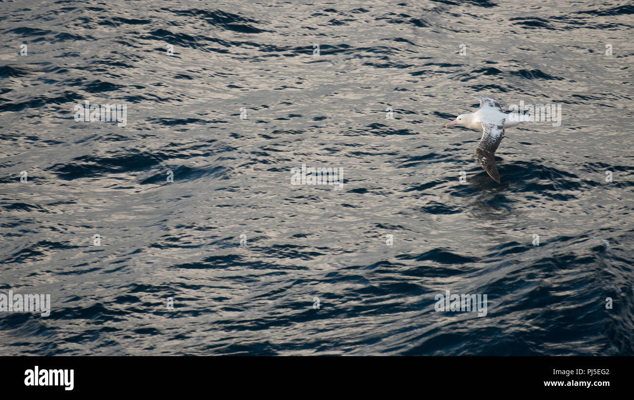 An adult male Wandering Albatross (Diomedia exulans) flying over the sea of the South Atlantic, in the sub-Antarctic - Stock Image