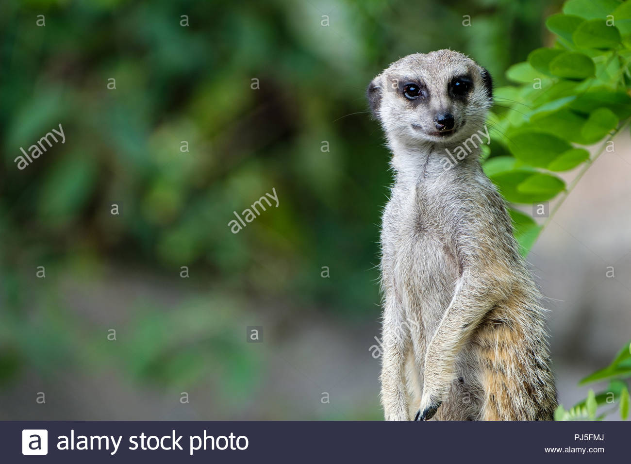 Portrait of a meerkat - Stock Image