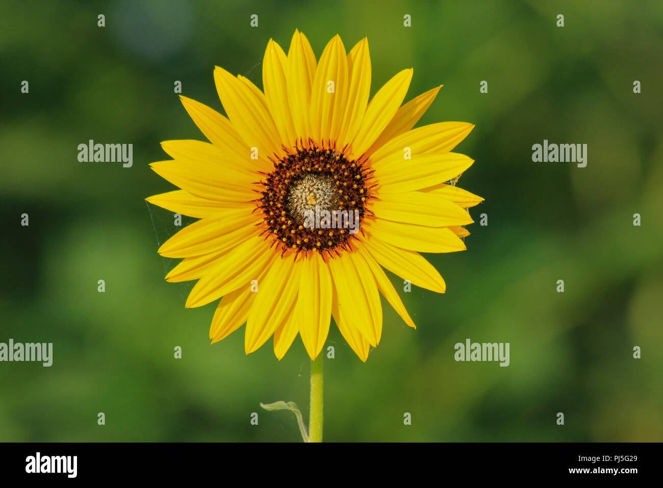 Colorful Wild Sunflower shot closeup with a green back ground in Kansas. - Stock Image