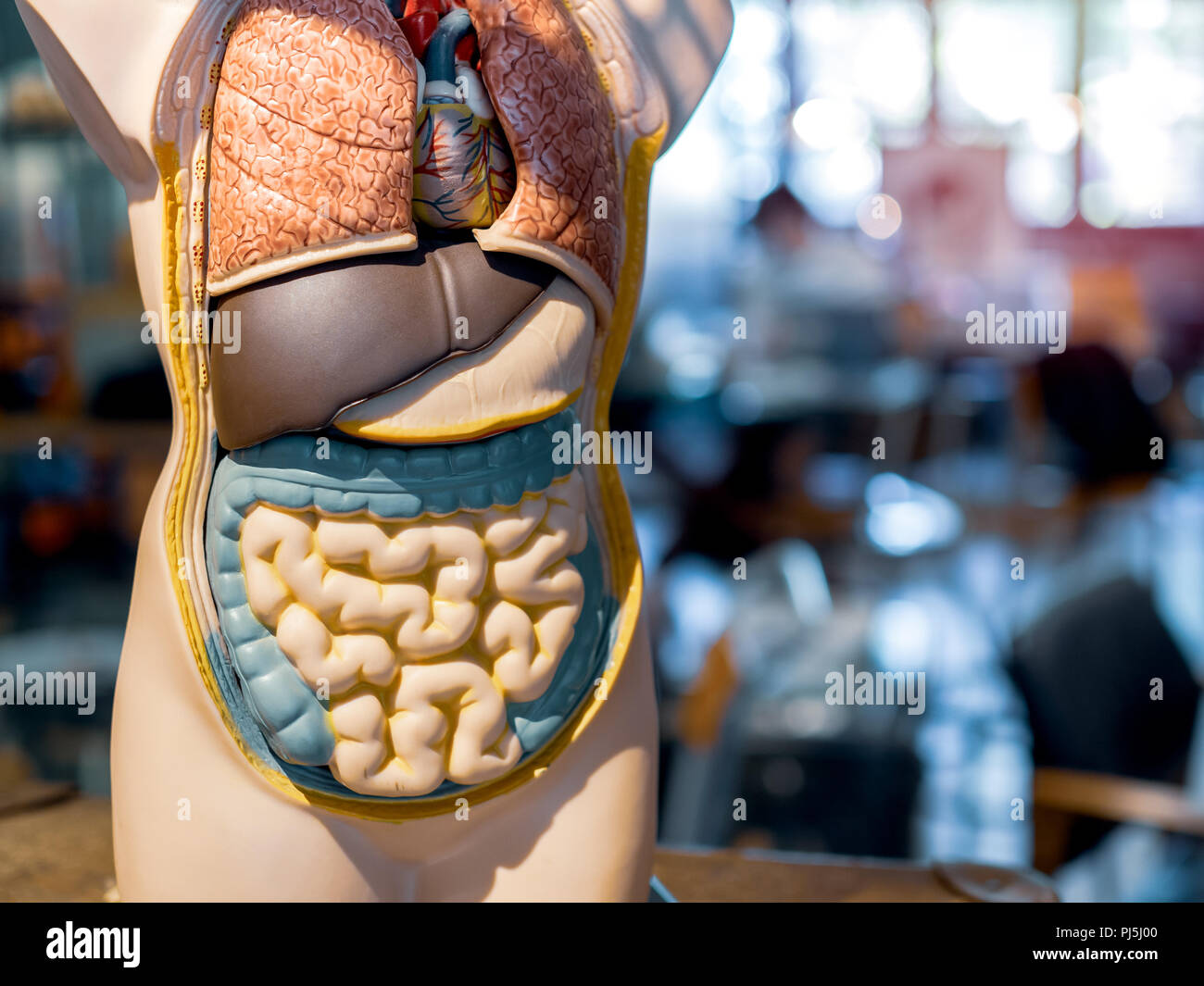 Anatomy human body model on classroom background. Part of human body model with organ system. Medical education concept. - Stock Image