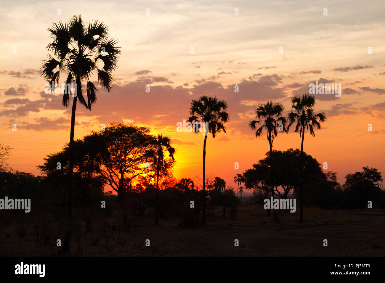 Sunset glow silhouettes fan palm trees during the dry season in Katavi National Park. Stock Photo