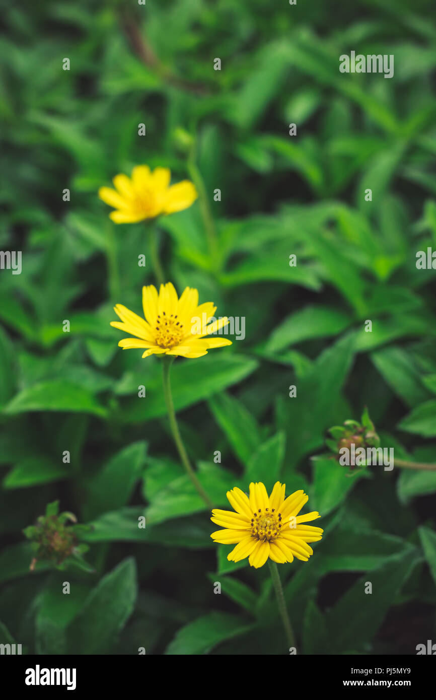 Beautiful Yellow Daisy Flowers Little Yellow Star In Thailand Stock