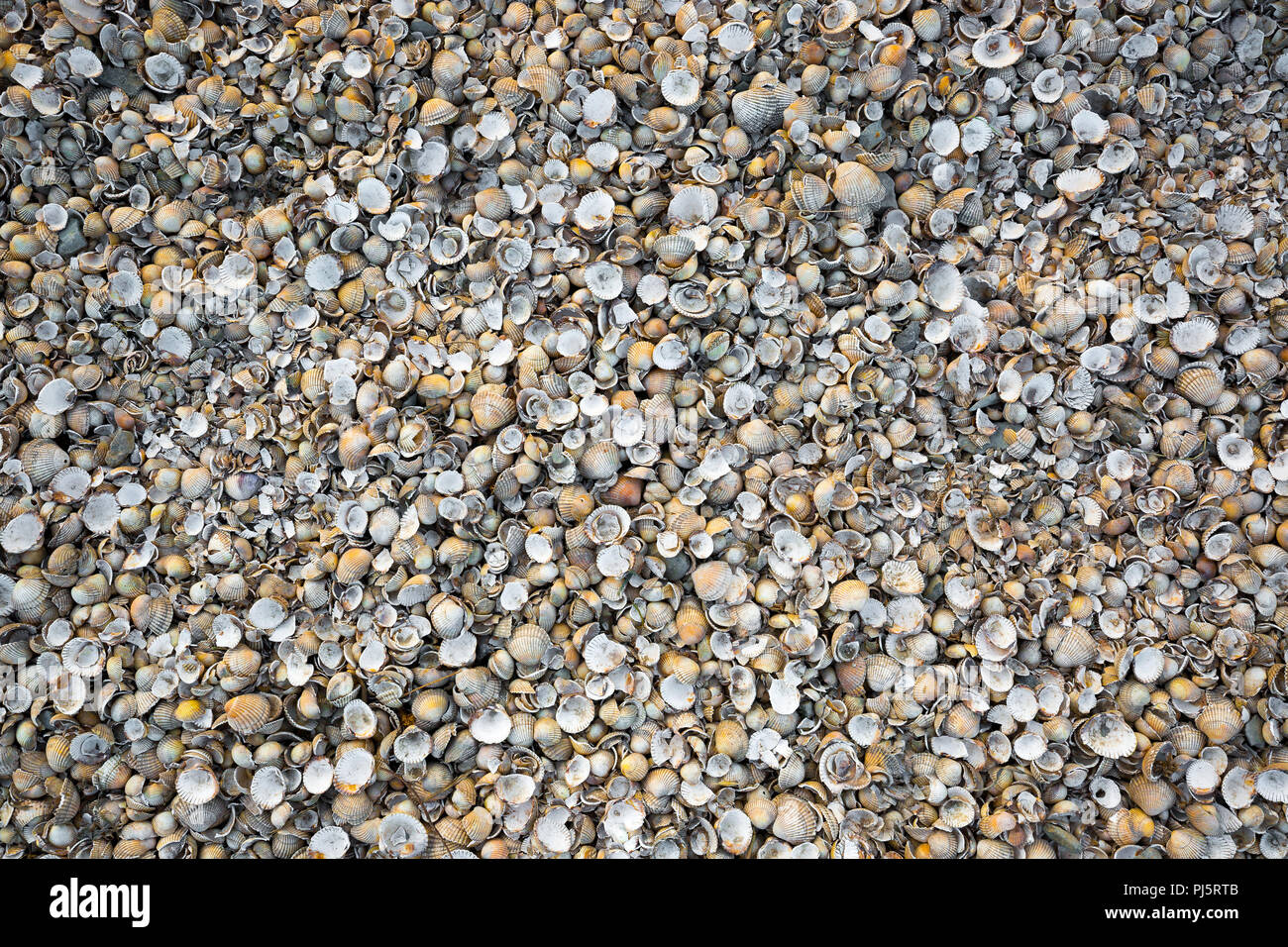 Close-up shot looking down on hundreds of empty small seashells densely packed together on UK beach. Useful background for advertising/design ideas. - Stock Image