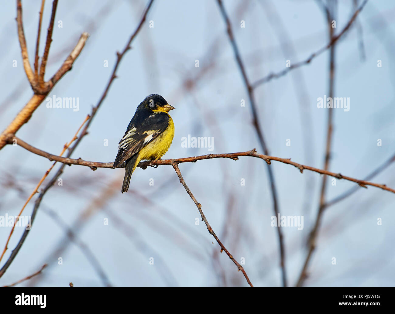 Lesser Goldfinch (Carduelis psaltria) perched in a tree, Jocotopec, Jalisco, Mexico Stock Photo