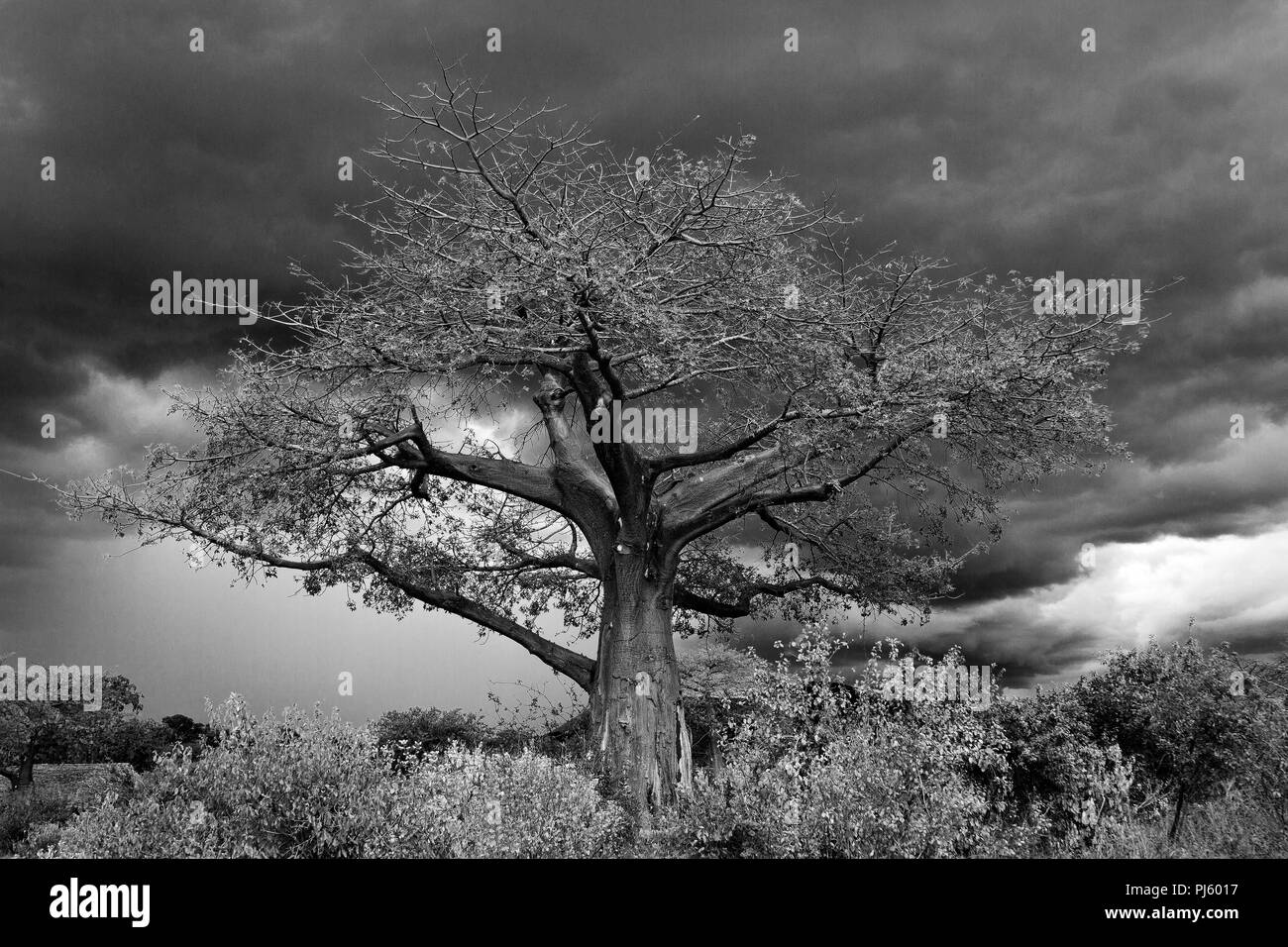 A large ancient Baobab stands before an approaching rainy season storm. Even these huge trees can be damaged in the more violent storms. - Stock Image