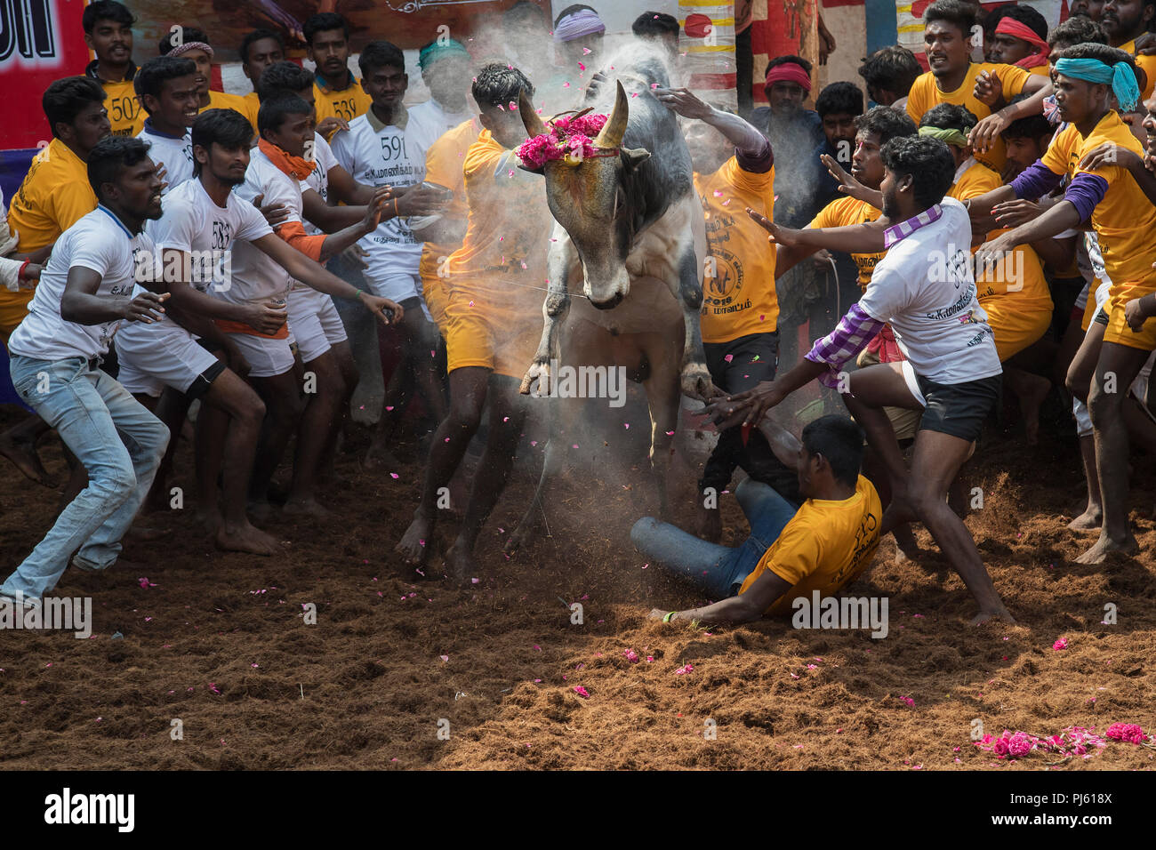 jallikattu bull high resolution stock photography and images alamy https www alamy com the image of jallikattu bull taming festival celebrated across tamilnadu as part of the cultural celebration in madurai india image217720970 html