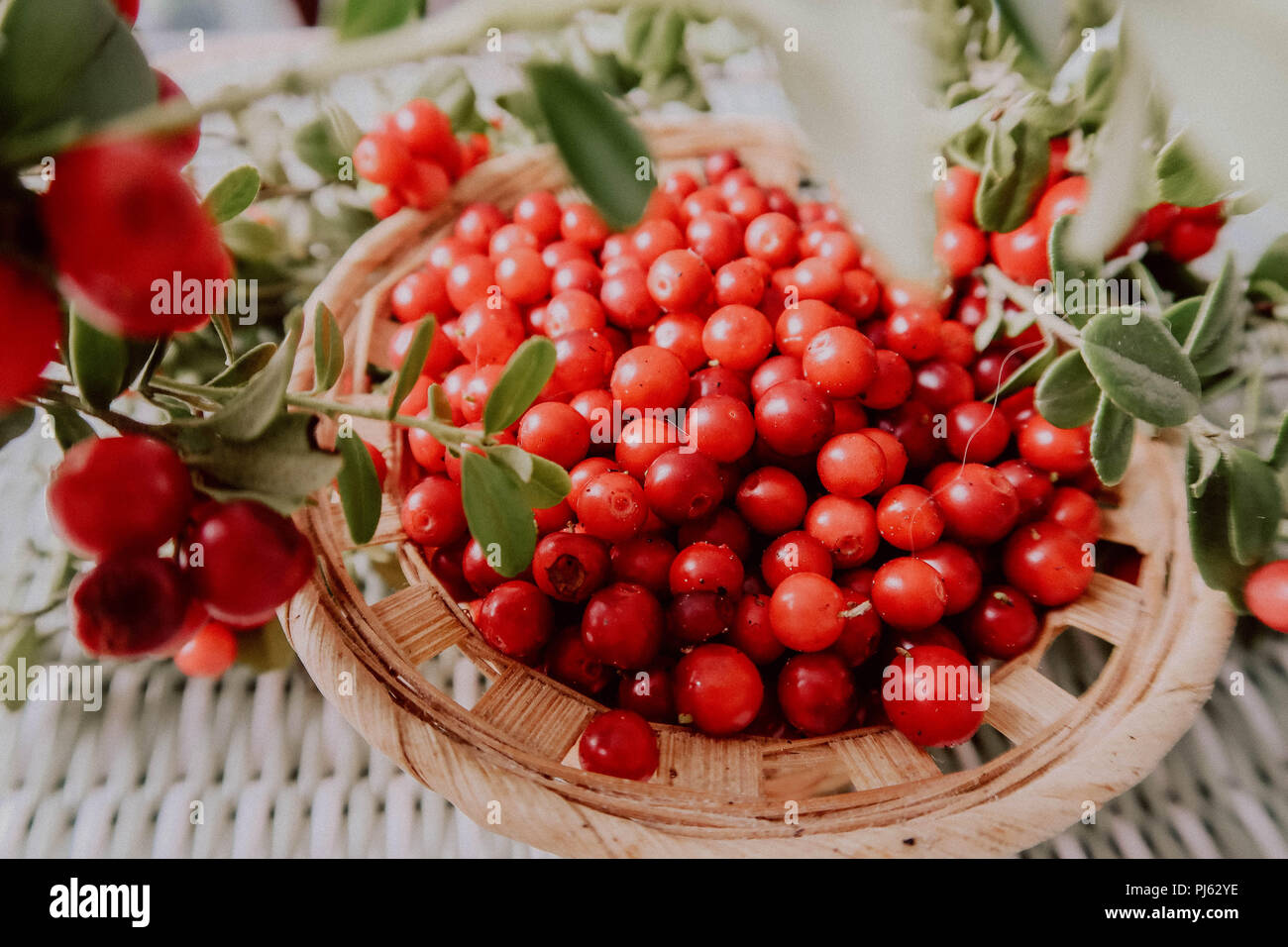 Red Lingonberry in the forest. Cowberry eurasian flora, forest lingonberry. - Stock Image