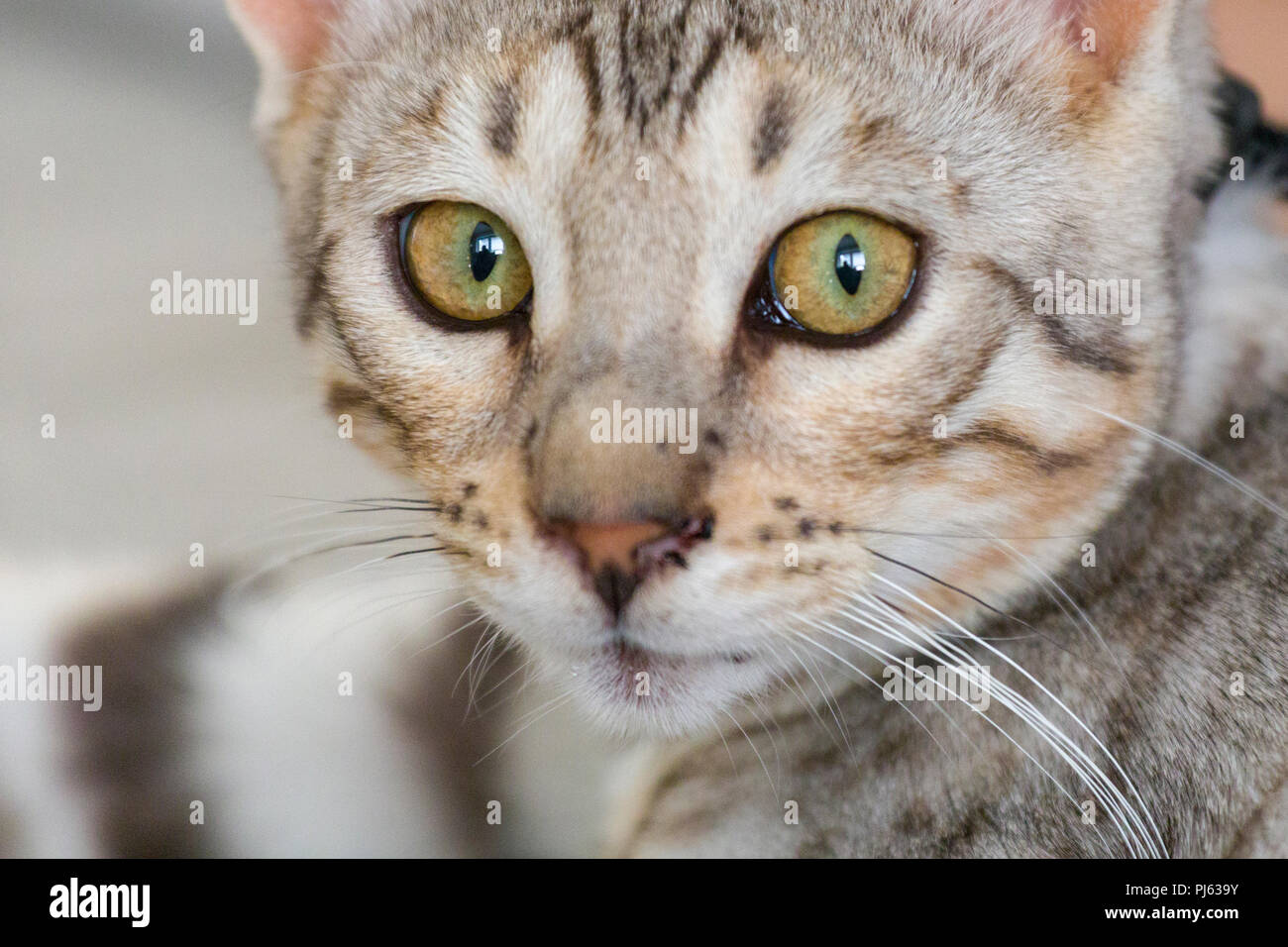 Beautiful male silver Bengal kitten indoor portrait at about 6 months old - Stock Image