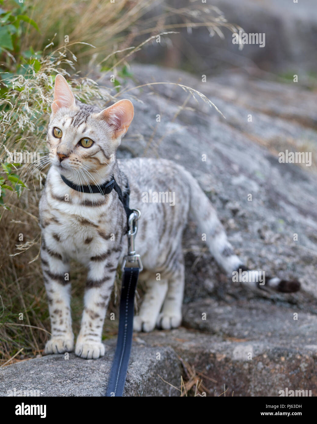 Beautiful male silver Bengal kitten outdoor portrait at about 6 months old - Stock Image