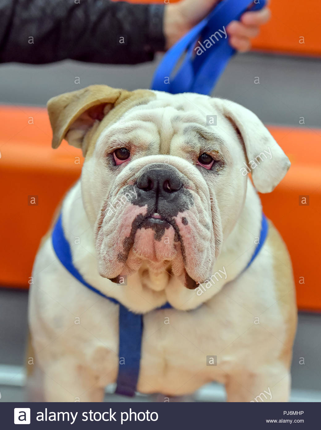 Fat faced English Bulldog serving as a High School Mascot during an athletic competition Stock Photo