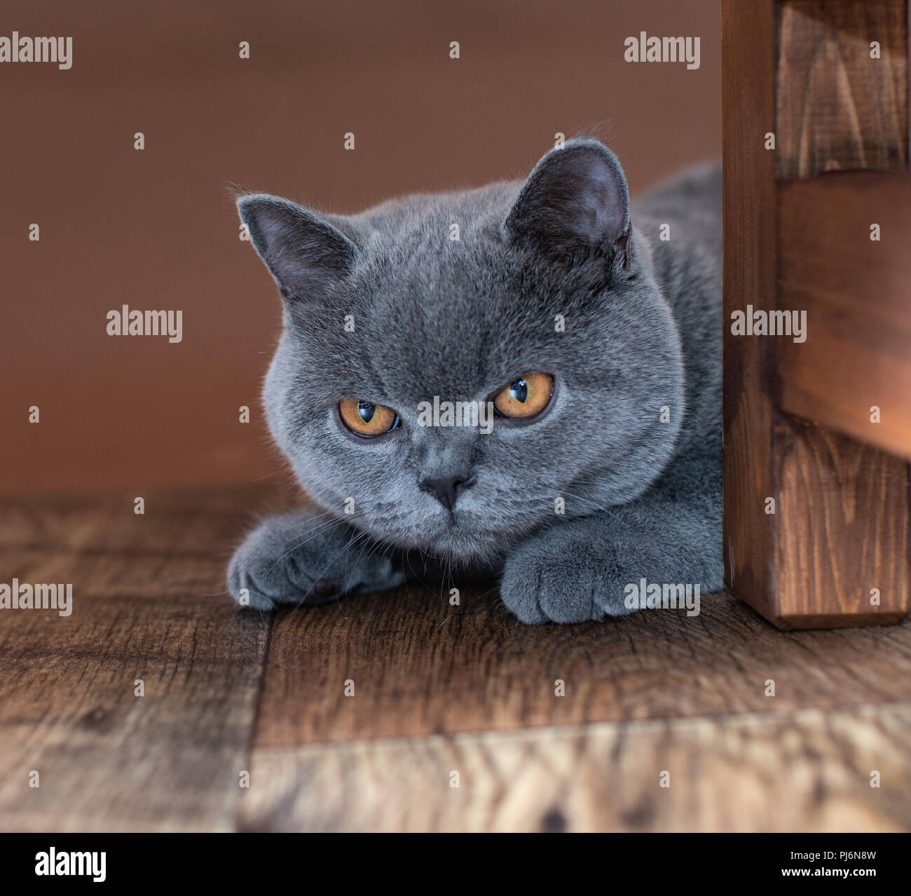Amber Eyes Of Cat High Resolution Stock Photography And Images Alamy