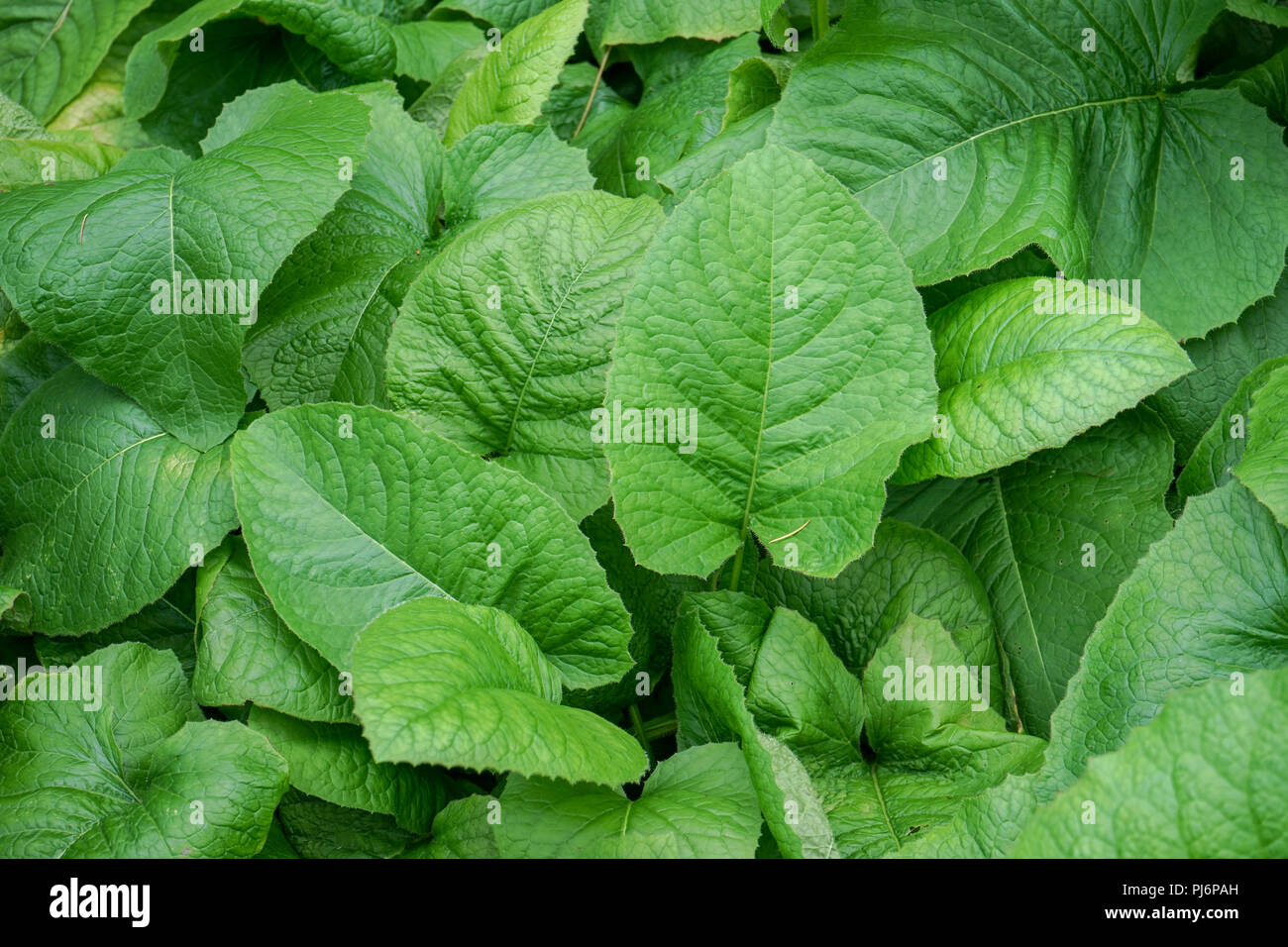 Leaf pattern design with various sizes of asteraceae plant from russia - Stock Image