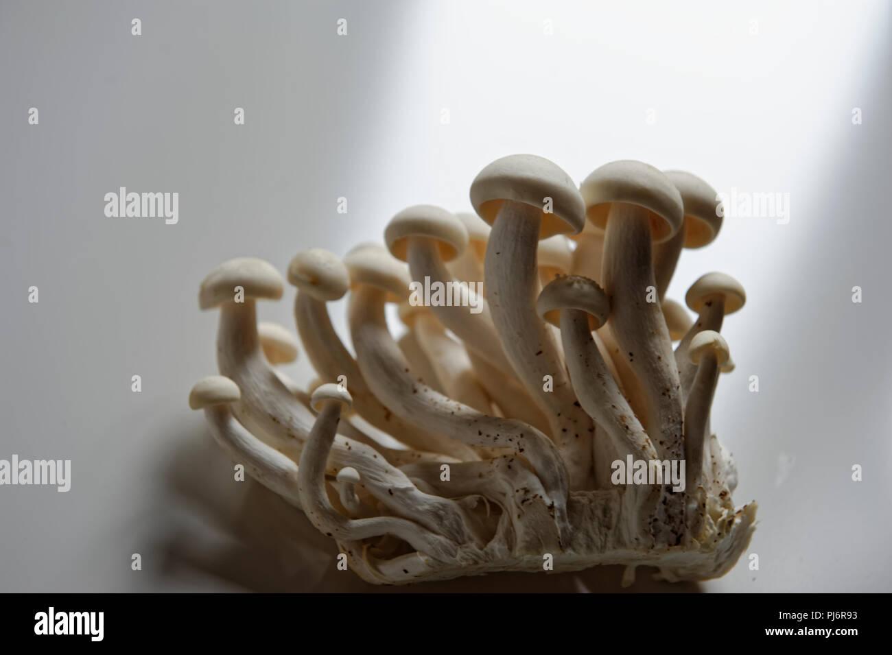 Weißer Buchenpilz, Buna-Shimeji, Shimeji, Buchenrasling (Hypsizygus tessulatus) Stock Photo